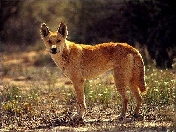 Собака-динго-1.jpg