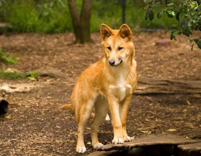 Динго-грациозные-собаки-и-великолепные-охотники.jpg