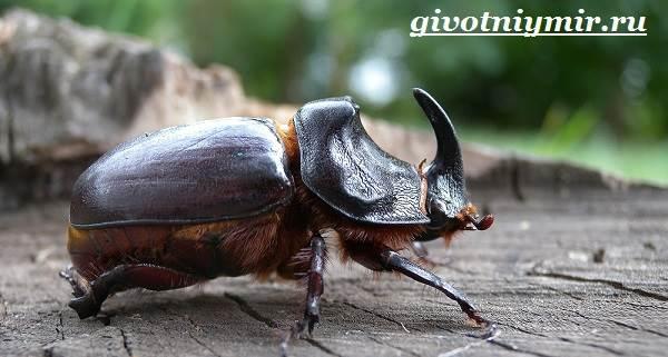 zhuk-nosorog-obraz-zhizni-i-sreda-obitaniya-zhuka-nosoroga-5.jpg