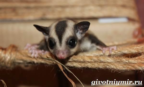 saxarnyj-possum-obraz-zhizni-i-sreda-obitaniya-saxarnogo-possuma-4.jpg