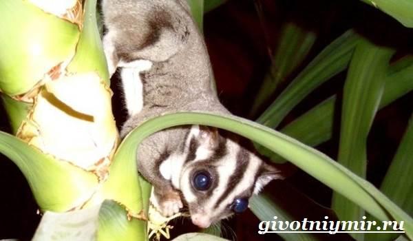 saxarnyj-possum-obraz-zhizni-i-sreda-obitaniya-saxarnogo-possuma-3.jpg
