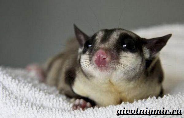 saxarnyj-possum-obraz-zhizni-i-sreda-obitaniya-saxarnogo-possuma-7.jpg