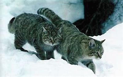 kavkazskij-lesnoy-kot.jpg