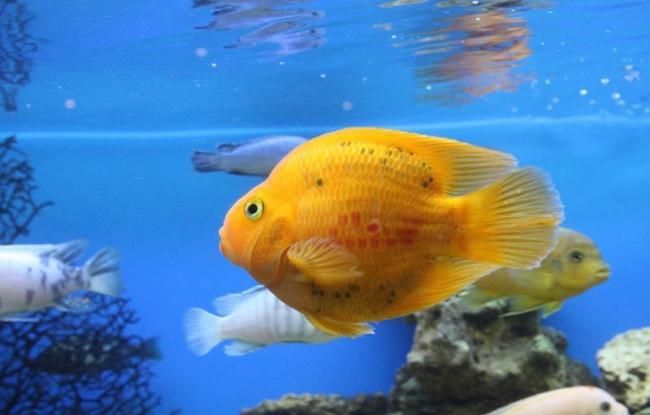 ryba-popugay8.jpg