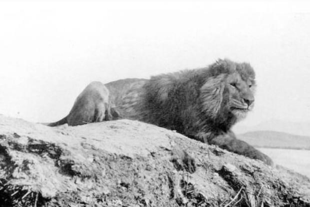 barbary-lion_620.jpg