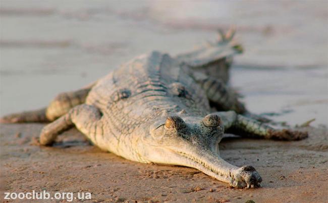 gavial-gangskiy2.jpg
