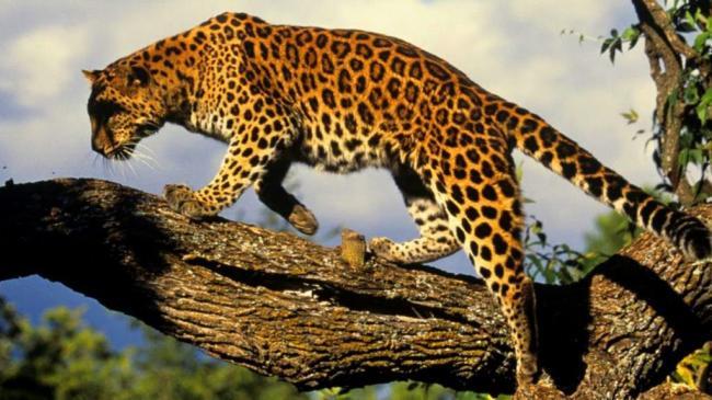 dalnevostochniy_leopard2-1024x576.jpg