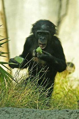 275px-lightmatter_chimpanzee2.jpg