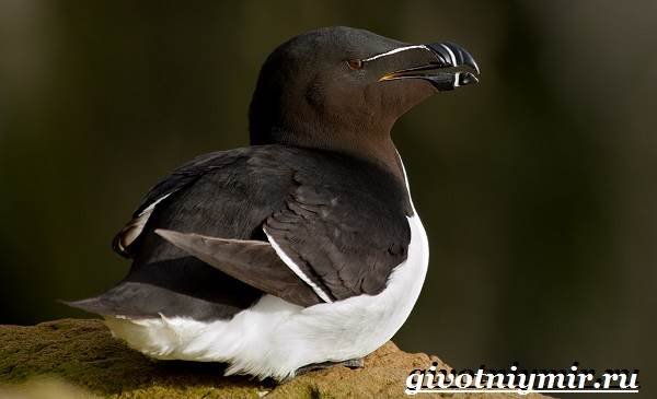 gagarka-ptica-obraz-zhizni-i-sreda-obitaniya-gagarki-9.jpg
