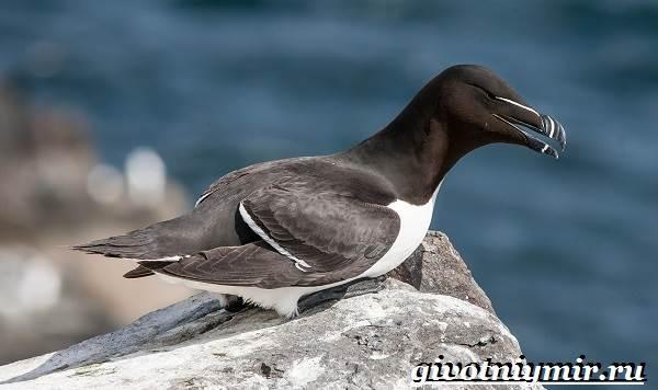 gagarka-ptica-obraz-zhizni-i-sreda-obitaniya-gagarki-2.jpg