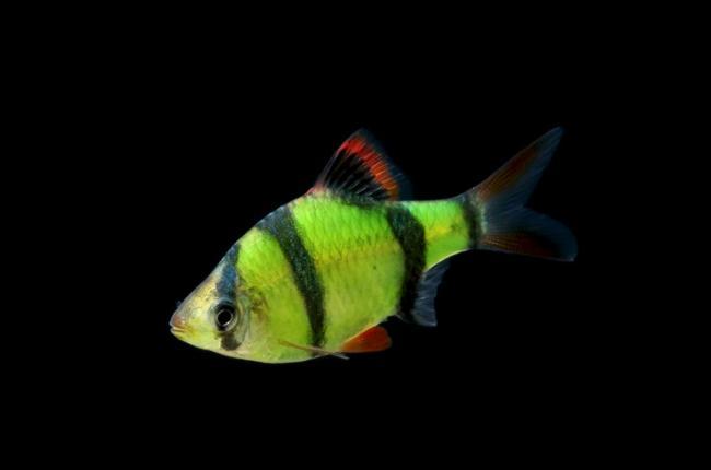 barbus-glofish.jpg