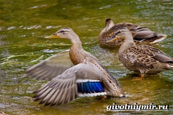 kryakva-ptica-obraz-zhizni-i-sreda-obitaniya-kryakvy-4.jpg