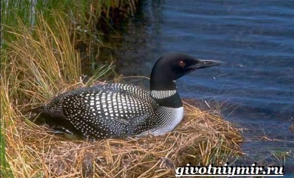 gagara-ptica-obraz-zhizni-i-sreda-obitaniya-gagary-3.jpg