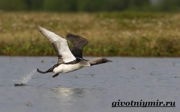 gagara-ptica-obraz-zhizni-i-sreda-obitaniya-gagary-4.jpg