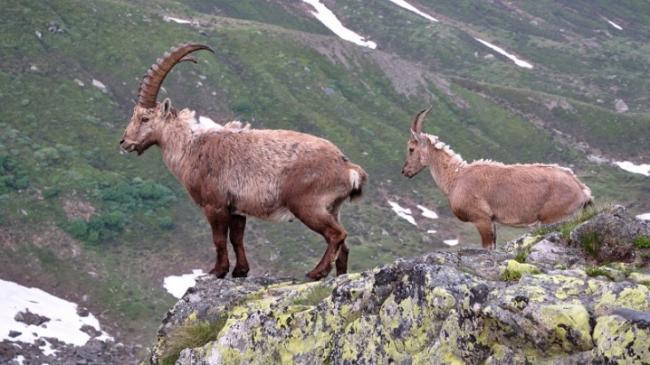 gornaya-koza-osobennosti-i-opisanie-porod-1.jpg