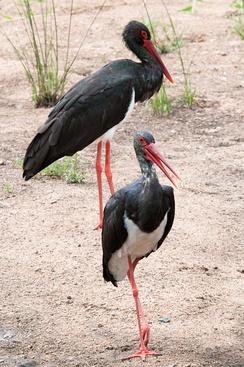 im244-319px-Ciconia_nigra_-Kruger_National_Park-8.jpg