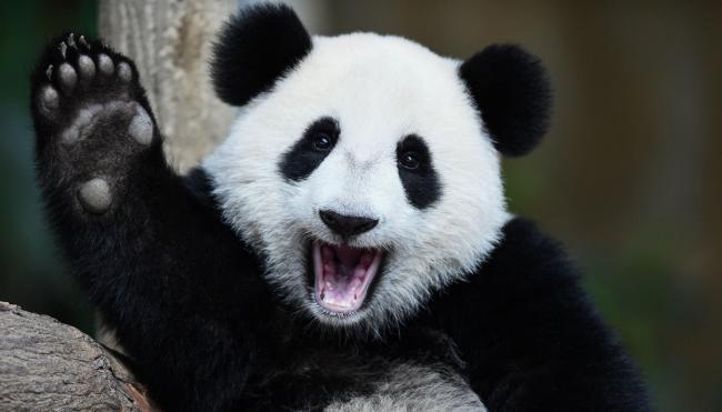 panda_23.jpg