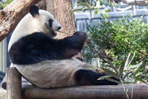 Pandas_Bears_Sitting_571379_600x400.jpg