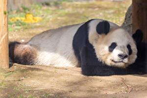 Pandas_Snout_Sleep_569331_600x400.jpg