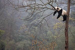 Pandas_Branches_Lying_down_Sleep_Trunk_tree_566762_600x400.jpg