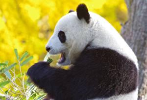 Pandas_Bears_565075_600x410.jpg