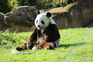 Bears_Pandas_Sitting_Grass_560826_600x400.jpg