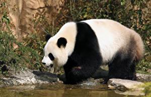 Bears_Pandas_Water_553839_600x384.jpg