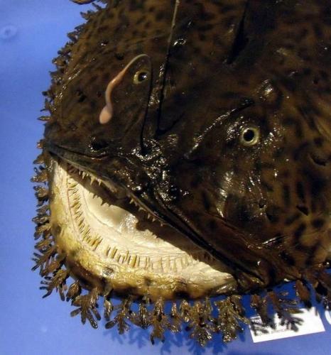 Голова-и-зубы-морского-черта-фото-вид-Lophius-americanus.jpg