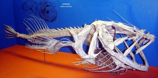 Морской-удильщик-скелет-фото.jpg