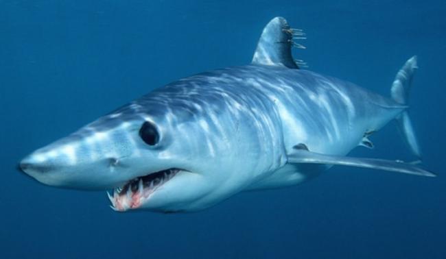Mako-shark-7.jpg