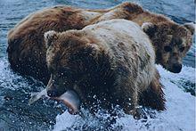 220px-Brown_bears_salmon.jpg