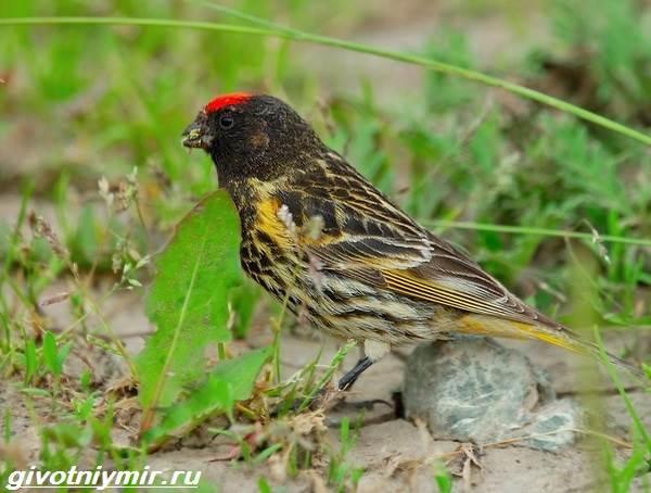 yurok-ptica-obraz-zhizni-i-sreda-obitaniya-pticy-yurok-6.jpg