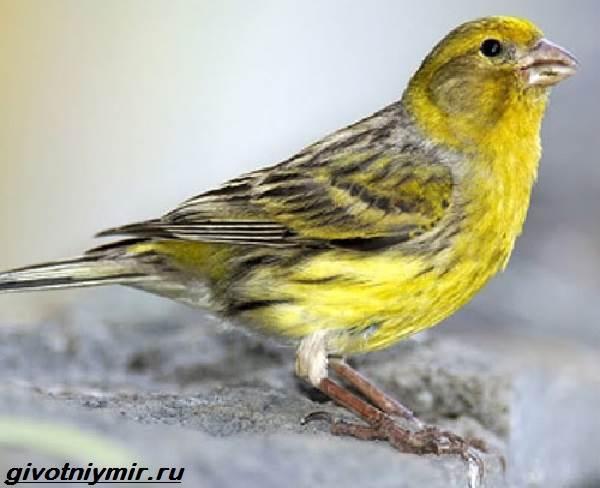 yurok-ptica-obraz-zhizni-i-sreda-obitaniya-pticy-yurok-8.jpg
