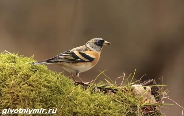 yurok-ptica-obraz-zhizni-i-sreda-obitaniya-pticy-yurok-9.jpg
