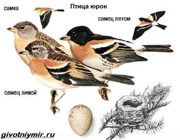yurok-ptica-obraz-zhizni-i-sreda-obitaniya-pticy-yurok-3.jpg
