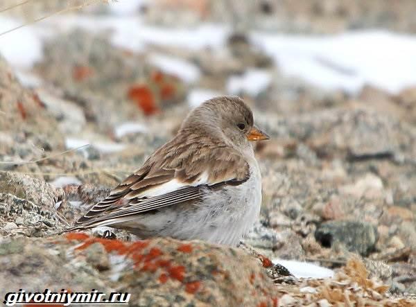 yurok-ptica-obraz-zhizni-i-sreda-obitaniya-pticy-yurok-4.jpg