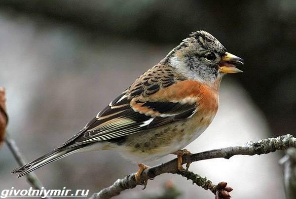 yurok-ptica-obraz-zhizni-i-sreda-obitaniya-pticy-yurok-1.jpg
