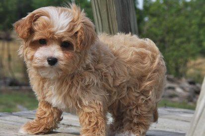 maltipoo-puppies-1.jpg