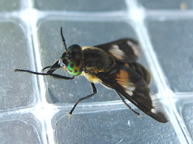 chrysops-relictus_small_01.jpg