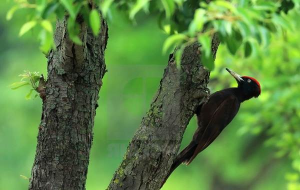 zhelna-ptica-opisanie-osobennosti-vidy-obraz-zhizni-i-sreda-obitaniya-zhelny-9.jpg