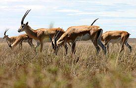 275px-Grant%27s-gazelle.jpg