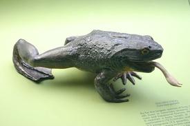 275px-Goliath_Frog.jpg