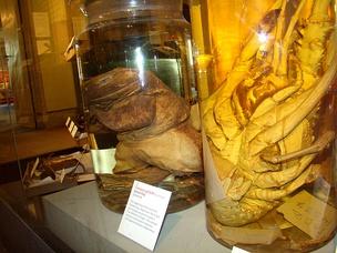 im304-640px-Goliath_frog_at_Harvard_Museum_of_Natural_History.jpg