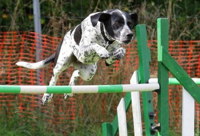 agility_for_dogs_3.jpg