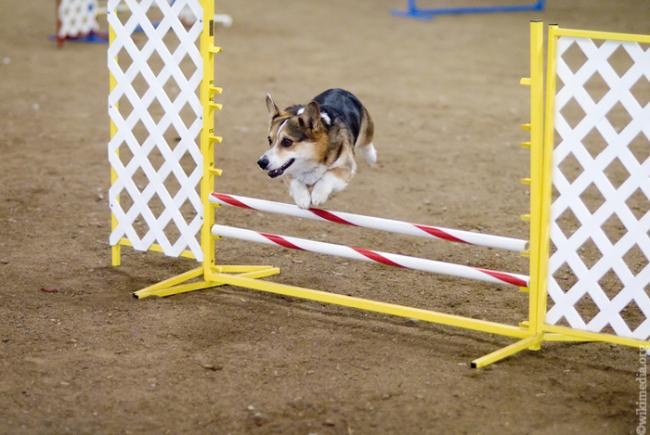 agility_for_dogs_6.jpg