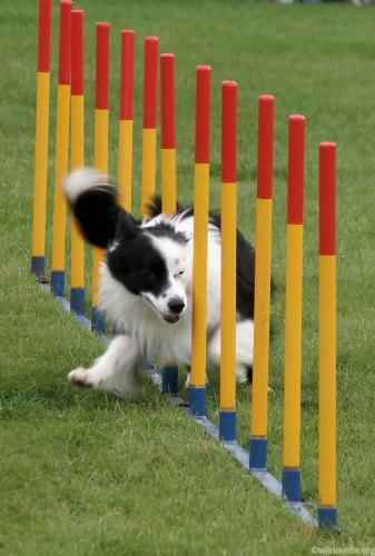 agility_for_dogs_5.jpg