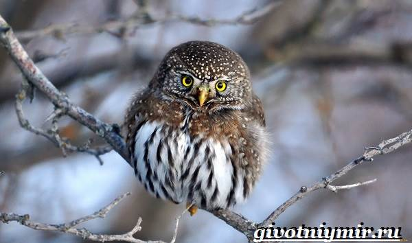 vorobinyj-sych-ptica-obraz-zhizni-i-sreda-obitaniya-vorobinogo-sycha-1.jpg