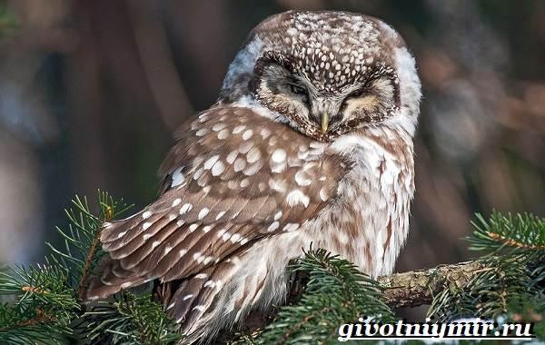 vorobinyj-sych-ptica-obraz-zhizni-i-sreda-obitaniya-vorobinogo-sycha-2.jpg