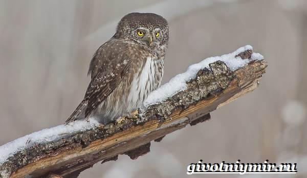 vorobinyj-sych-ptica-obraz-zhizni-i-sreda-obitaniya-vorobinogo-sycha-6.jpg