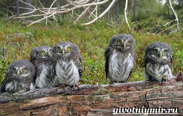 vorobinyj-sych-ptica-obraz-zhizni-i-sreda-obitaniya-vorobinogo-sycha-5.jpg
